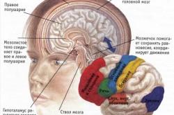 Расположение основных высших функций в коре головного мозга