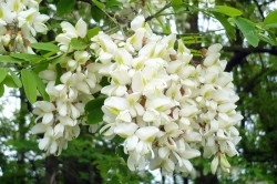 Цветы акации для лечения кисты яичника