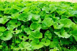 Лопух - растение для лечения кисты