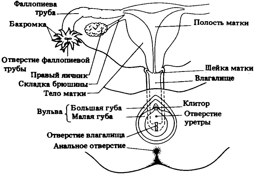 bugorok-vo-vlagalishe-na-peredney-stenke
